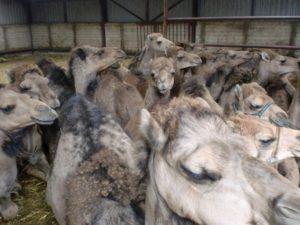 heleboel kamelen die samen dicht tegen elkaar aan zitten
